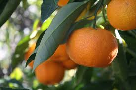 #7 tangerines